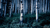 Aspen Forest Trees II