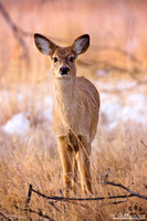 Portrait Of A Young White-Tailed Deer
