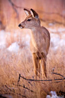 The Young White-Tail