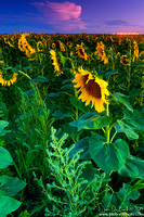 Sunflowers 8-8-2014