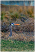 A Heron's Portrait-number 3