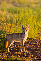 Coyote Puppy In Sunlight