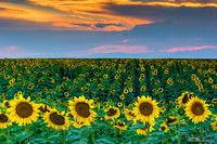 Colorado Sunflowers and Sunset