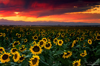 A Sunflower Sunset In Colorado