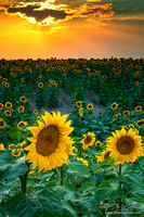 A Summer Sunset With Sunflowers