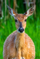 Portrait Of A Whitetail Deer