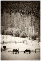 Horses Among The Fresh Snow-split toned-03103