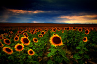 Sunflower Storms