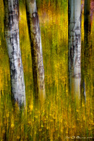 Autumn Aspen Recollections