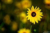 A Lone Sunflower