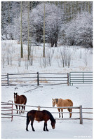 Horses Of Winter-03086