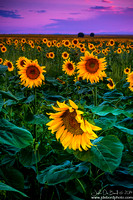 Sunflowers 8-9-2014