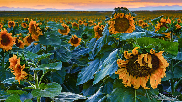 Giant Colorado Sunflowers At Sunset