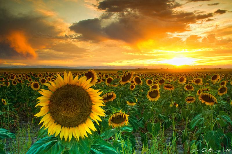 Zenfolio | John De Bord Photography | Sunflowers 8-18-2011 ...