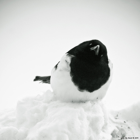 Whodat?---Magpie In Snow