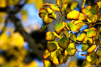 Leaves Of Lime And Gold