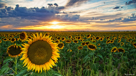 Sunflowers Of Golden Hour