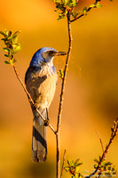 The Blue Jay Of The Lowlands