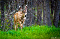 Young Buck In Grass