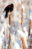 Red-Winged Blackbird In Snow