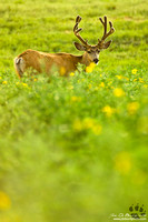 Buck In Wildflowers